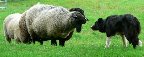 sheep-and-sheep-dog